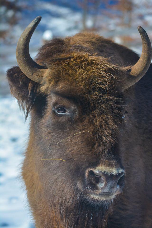 Zimbrul european (Bison bonassus)